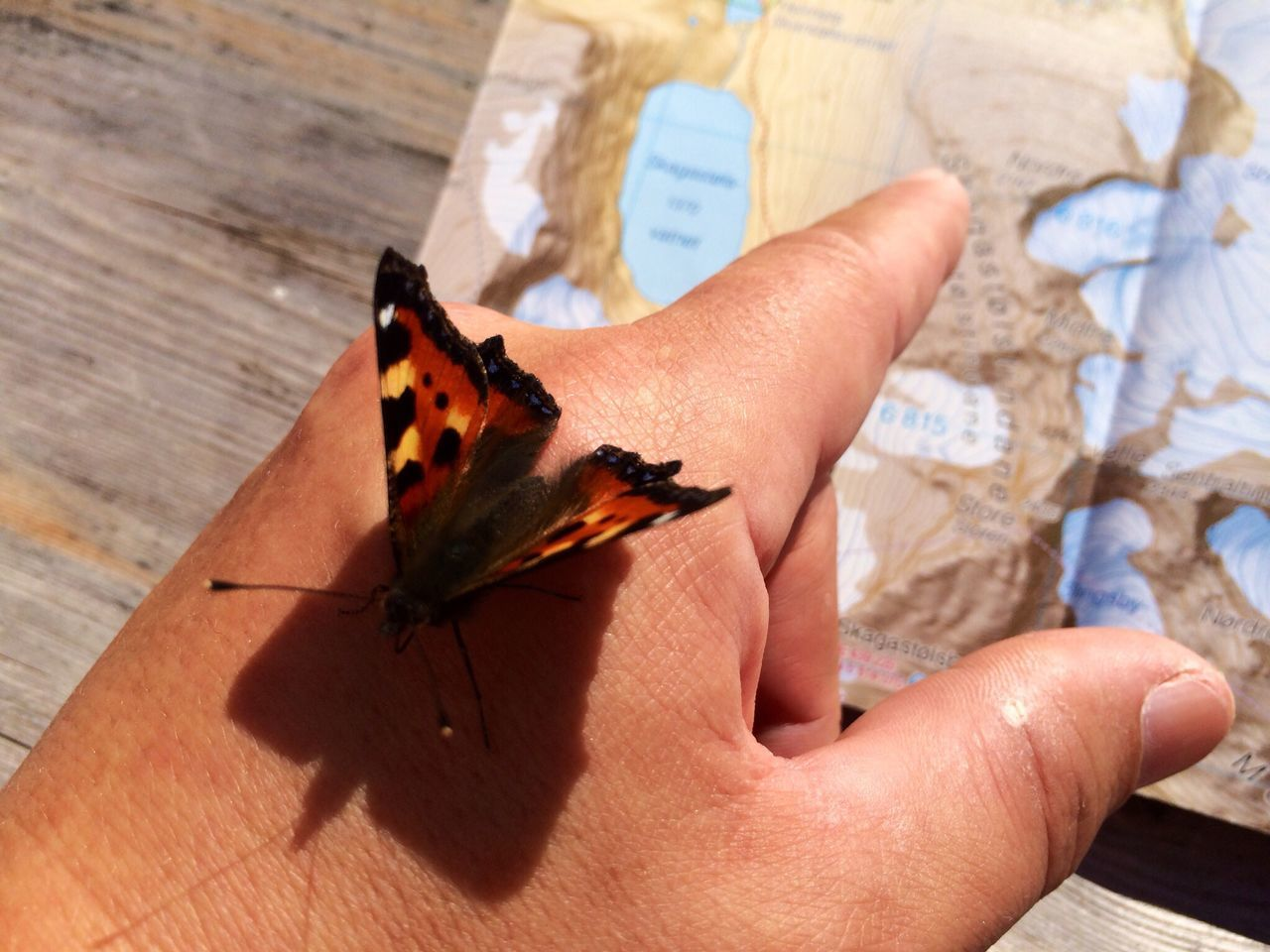 Beautiful stock photos of map, Animal Themes, Animals In The Wild, Butterfly - Insect, Cropped