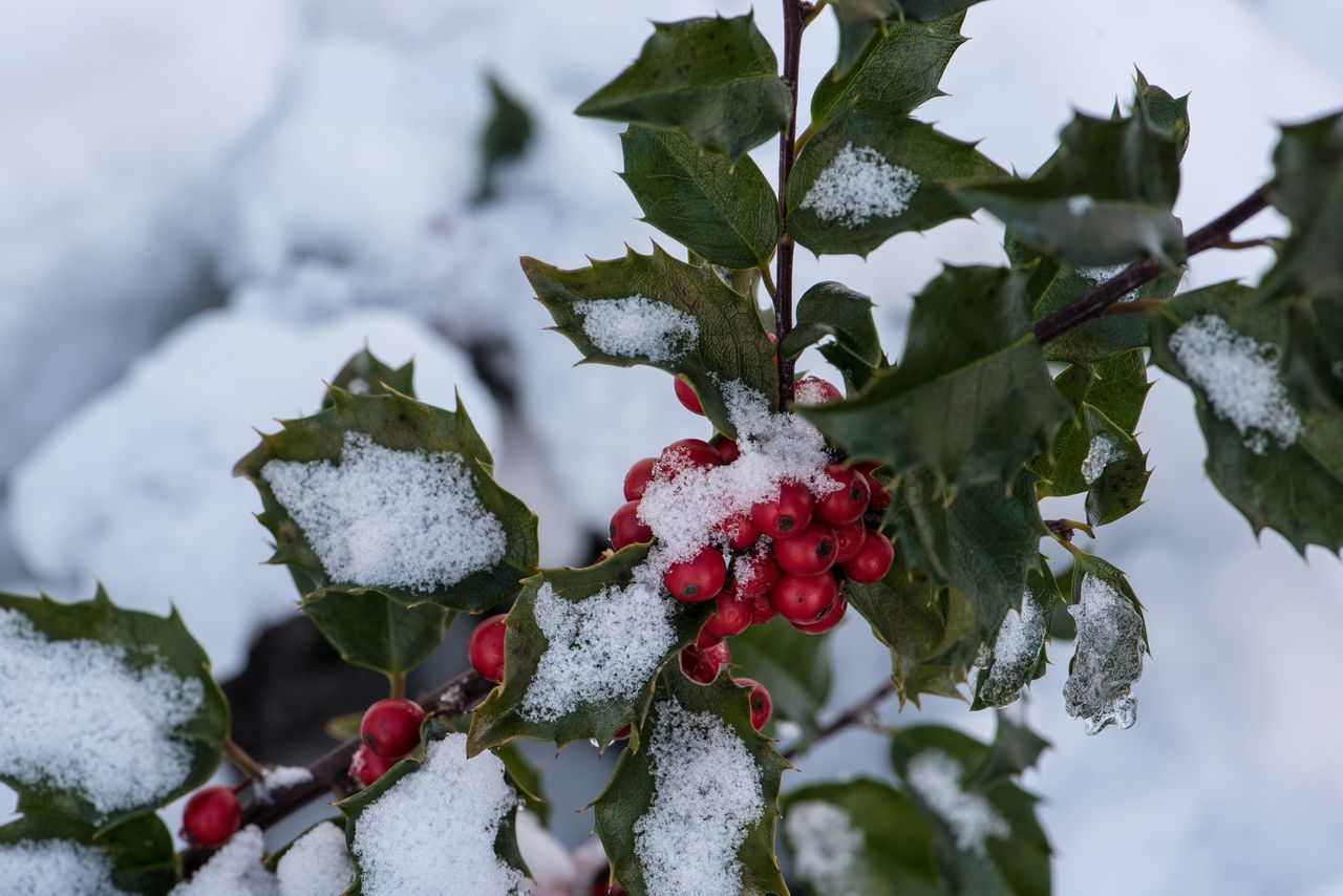 Beautiful stock photos of schneeflocken, Berry Fruit, Cold Temperature, Day, Green Color