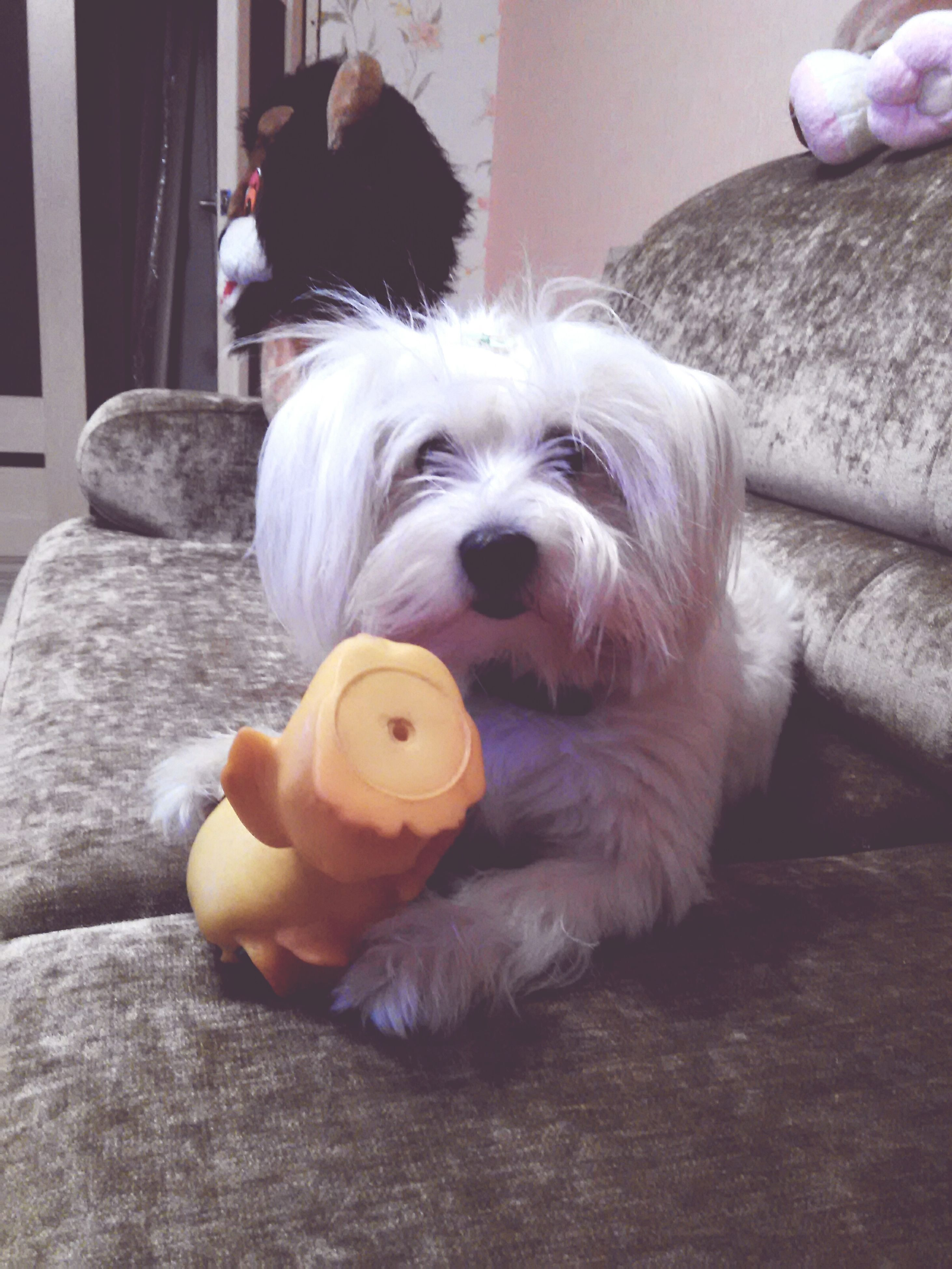 indoors, domestic animals, pets, dog, one animal, mammal, animal themes, toy, home interior, relaxation, cute, stuffed toy, portrait, looking at camera, sitting, close-up, childhood, no people, home, animal representation