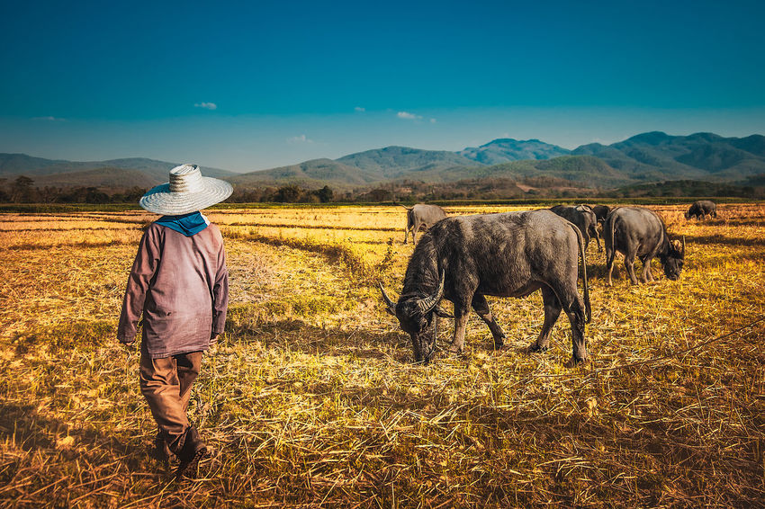 Farmer with water buffalo. Beauty In Nature Blue Clear Sky Countryside Domestic Animals Field Grass Landscape Livestock Mammal Mountain Nature Rural Scene Sky Standing Tranquility