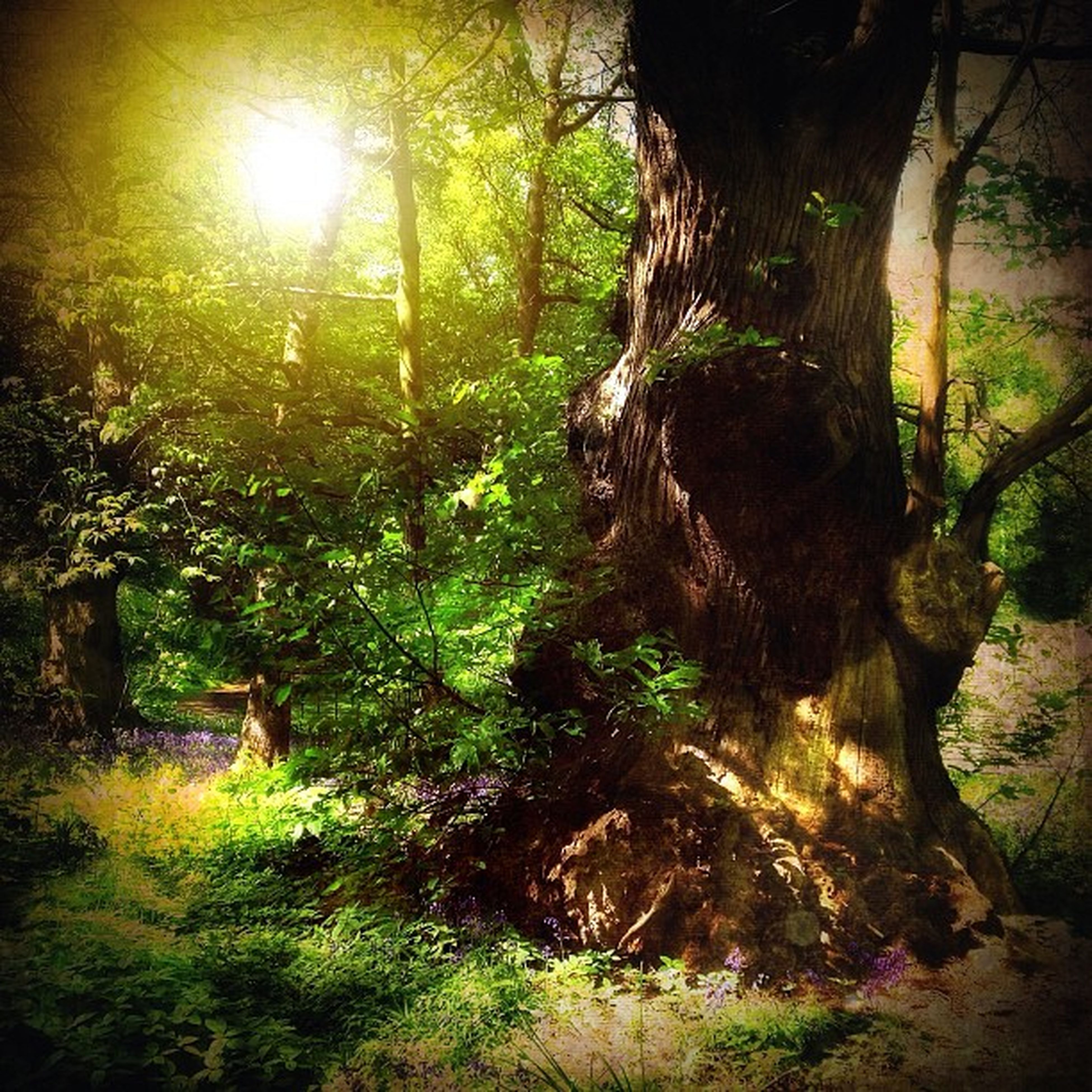 tree, tranquility, forest, growth, nature, tree trunk, tranquil scene, sunlight, beauty in nature, green color, woodland, sun, scenics, branch, sunbeam, lens flare, the way forward, landscape, non-urban scene, footpath