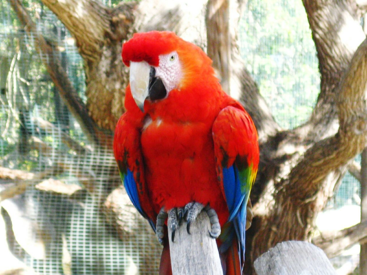 scarlet macaw, macaw, parrot, red, bird, animal themes, animals in the wild, tree, one animal, perching, animal wildlife, focus on foreground, day, nature, no people, outdoors, close-up, beauty in nature, gold and blue macaw