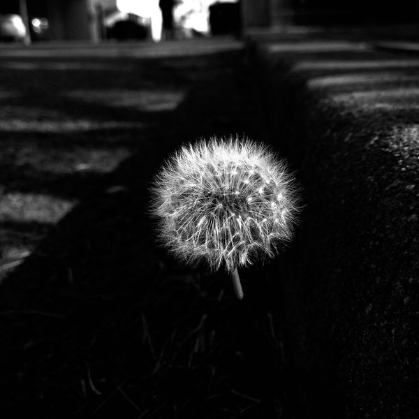 Nature's Diversities Dandelion Soft Colseup Black And White Street Lonely Curb Santa Monica California