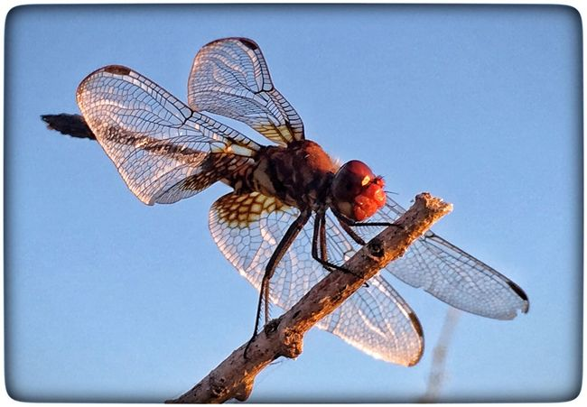 Dragonfly Dragonfly Dragonfly_of_the_day Dragonfly💛 Insect Photography Insects Collection Insect Macro