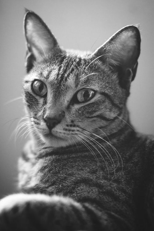 Animal Themes One Animal Pets Indoors  Domestic Animals Close-up Portrait No People Studio Shot Cats Of EyeEm Cat Bnw_collection Classic EyeEm Gallery Market EyeEm Bnwphotography The Week On EyeEm EyeEm Best Shots Getty Images Blackandwhite Premium Collection September 2017 EyeEm Best Shots - Black + White Bestsellers 2017 Bestsellers EyeEm