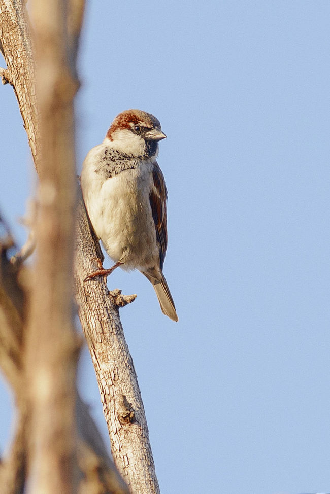 Animal Themes Ave Aves Avian Beauty In Nature Bird Birds Birdwatching Branch House Sparrow Nature No People Outdoors Perched Perched Bird Perched Birds Perched On Branch Perching Sparrow Sparrow Bird Sparrows Spatz Sperling Vogel Vogels