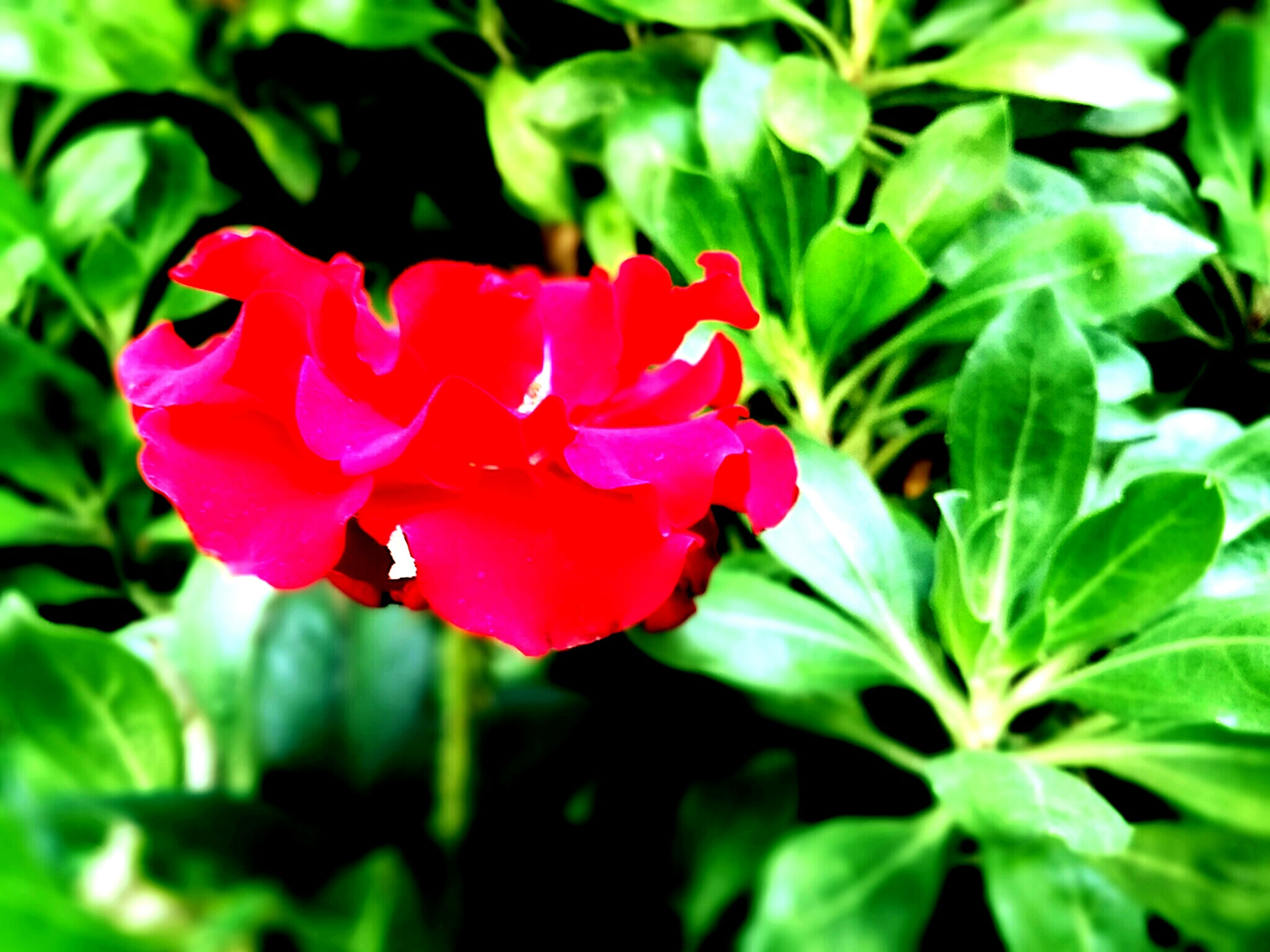 flower, petal, freshness, flower head, growth, fragility, beauty in nature, leaf, blooming, plant, pink color, close-up, red, nature, focus on foreground, green color, in bloom, park - man made space, single flower, blossom