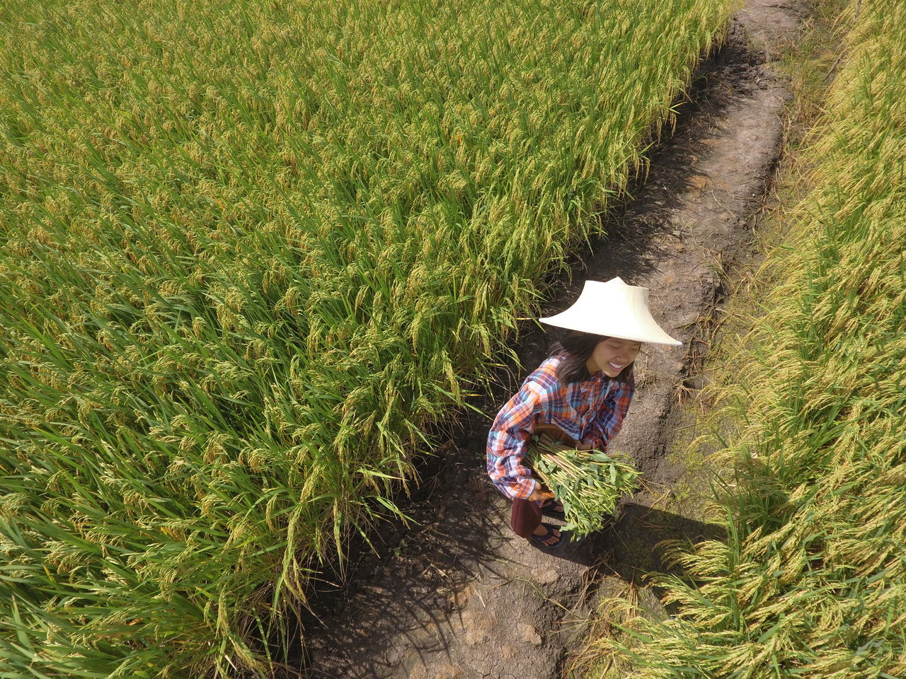 Suphan Buri, Thailand - June 30, 2016: Thailand, farmers are happy because from drought. The water in rice cultivation June 30, 2016 in Suphanburi, Thailand. Bloom Farmer Nature Summer Agriculture Agriculture Farm Agriculture Land Agriculture Park Agriculture Way Asian  Thailand