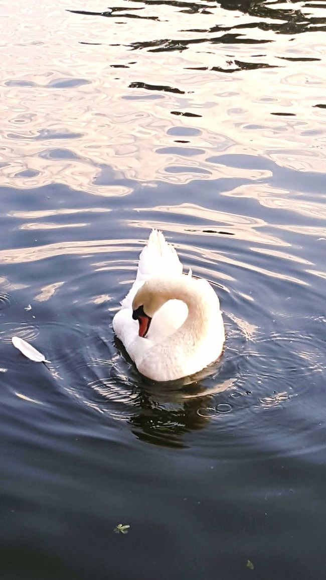 Majestic London Kingston Kingston Upon Thames United Kingdom Swan Feather  River Thames River Ripples Ripples In The Water Wildlife