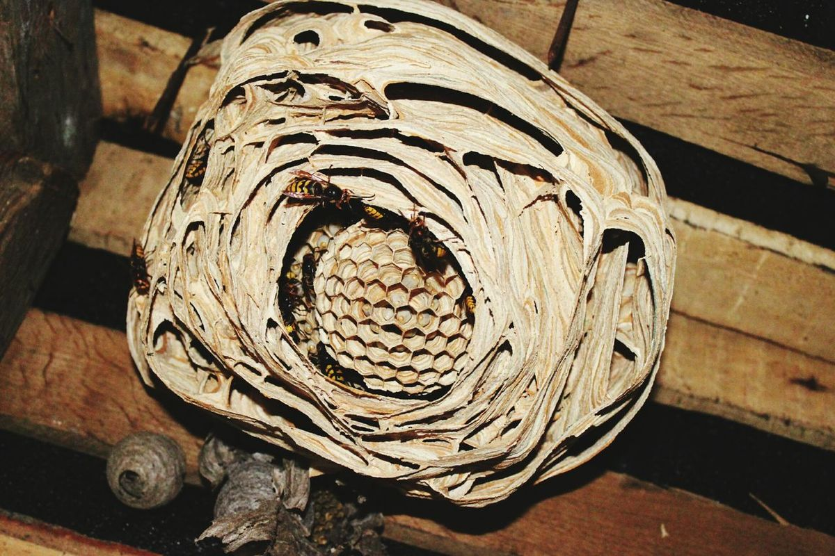Шершень осы гнездо First Eyeem Photo