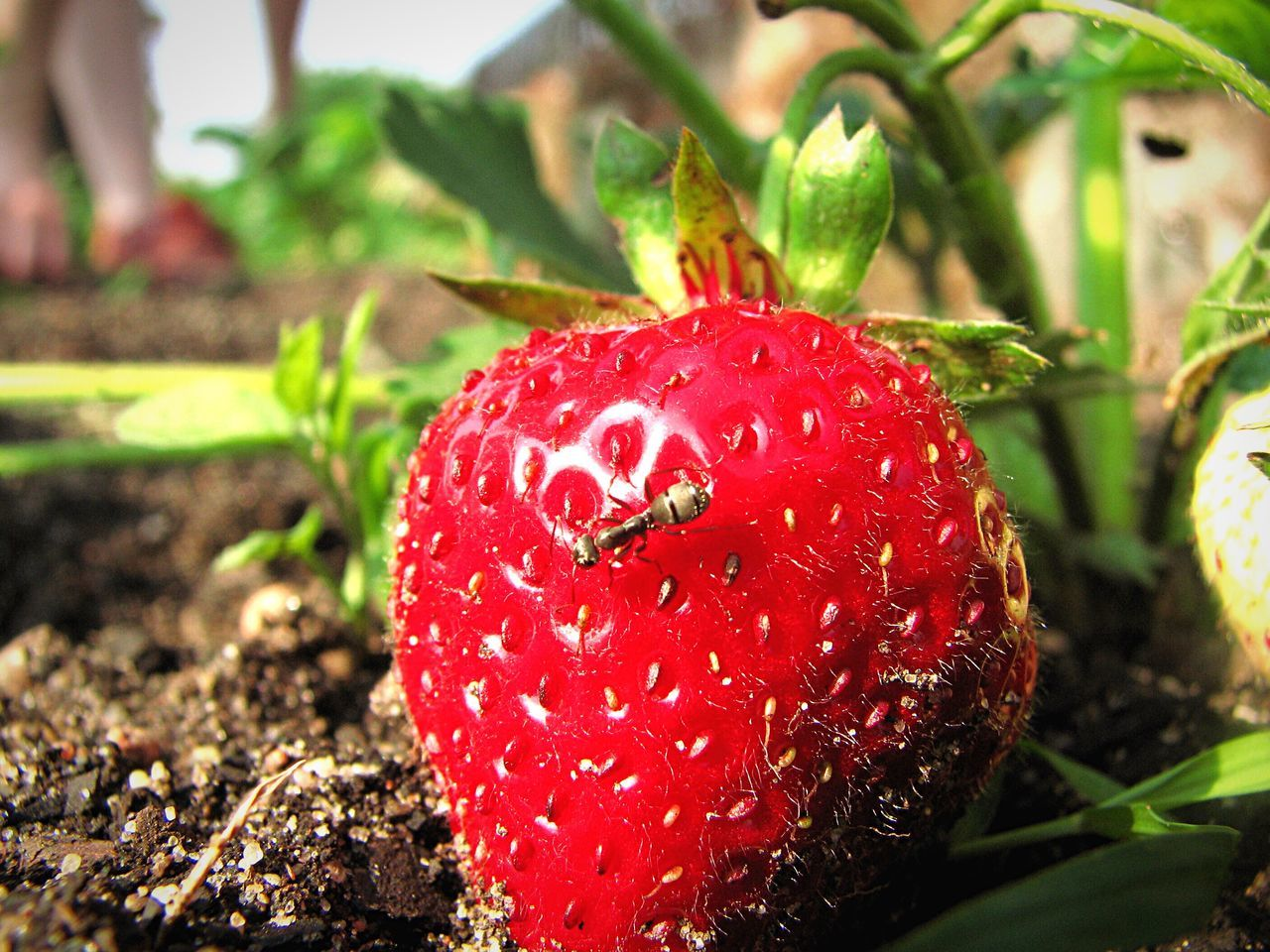 Summer Strawberry Strawberries Macro Macro Photography Makro Ant Insect Truskawki Lubicz