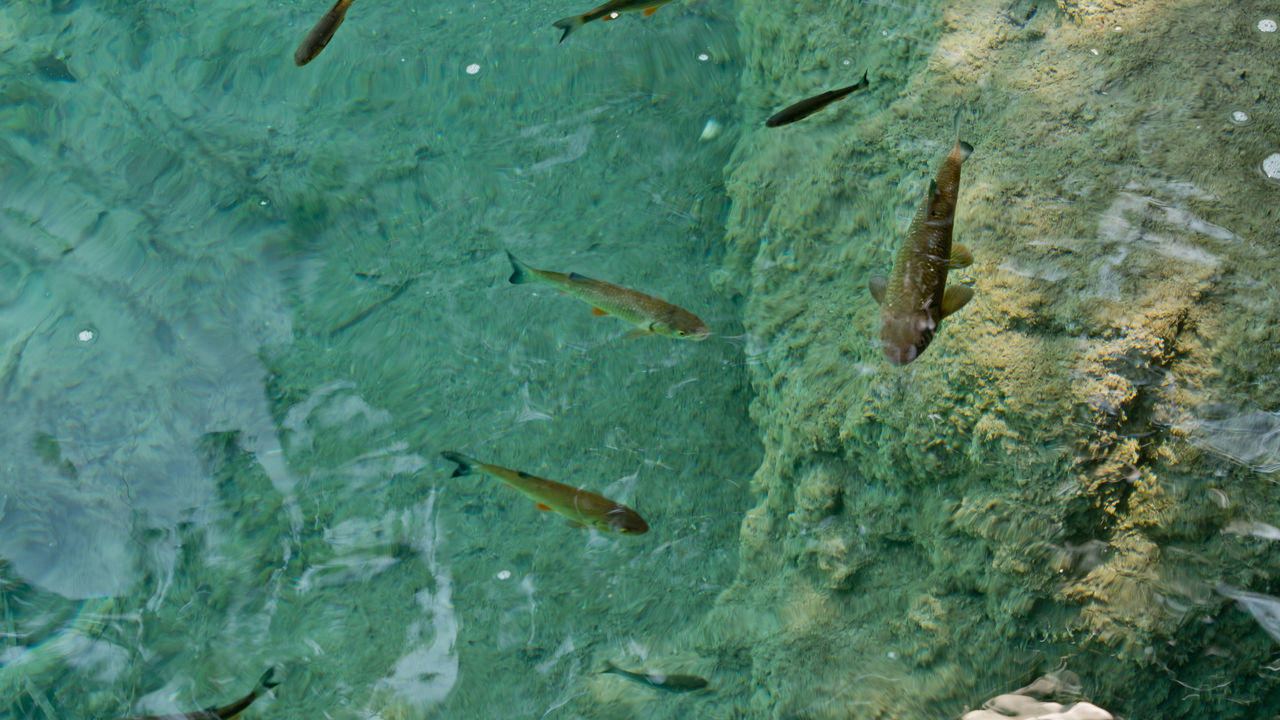 Animal Themes Animal Wildlife Animals In The Wild Beauty In Nature Clear Water Crystal Clear Waters Fish Fishing Lake Plitvice Lakes National Park Roach Fish Underwater Water