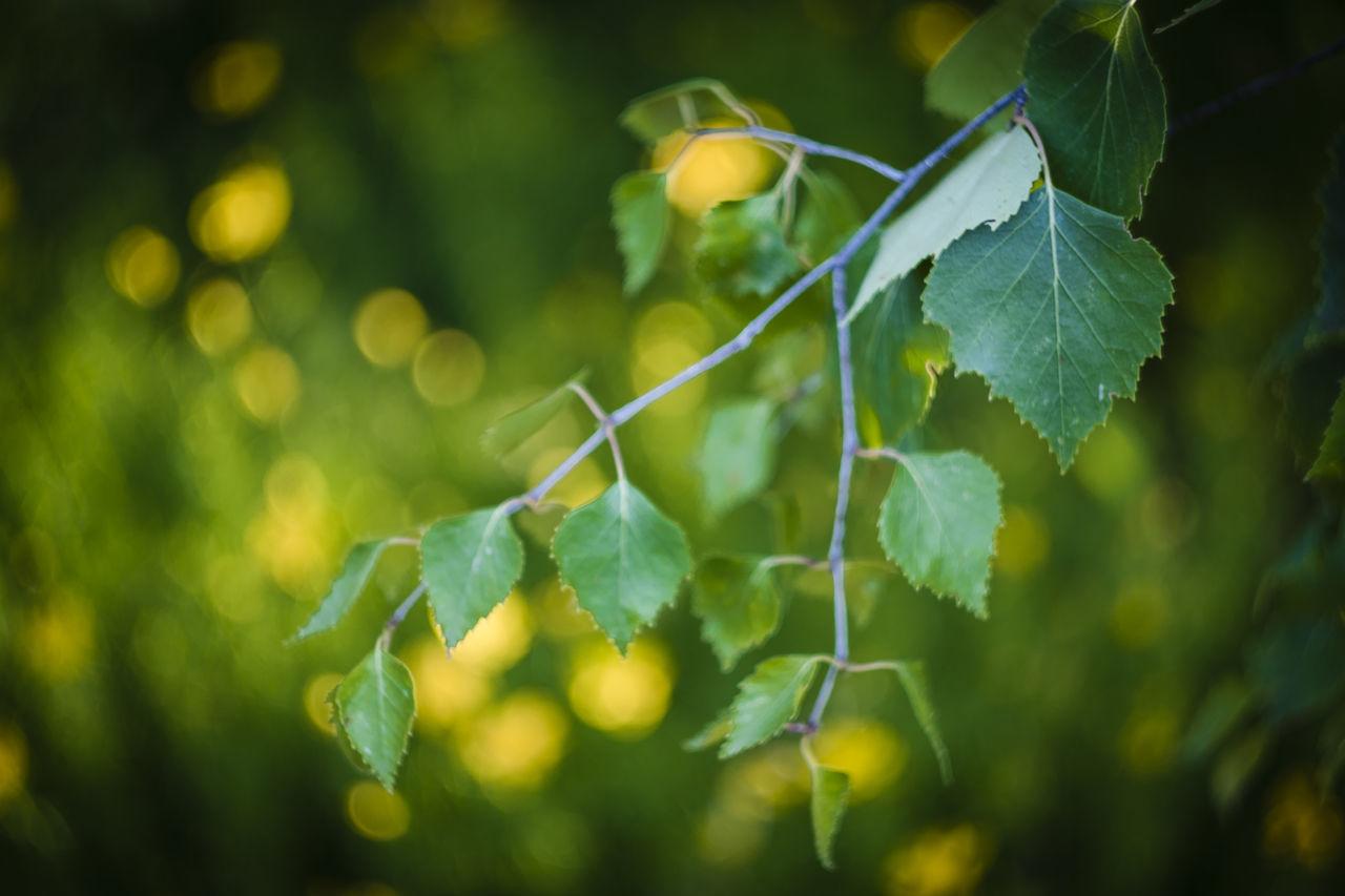 Russian Lens Helios 44-2 58mm/2 Birch Leaves Bokeh Garden Green Leaves. Helios 44-2 58mm F2 Meadow Flowers Nature Summertime Yellow Flowers