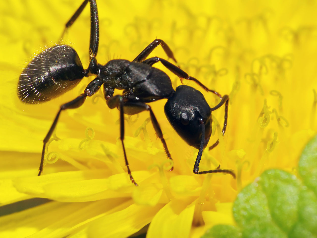 Camponotus Vagus - Serchio River Animal Themes Animal Wildlife Animals In The Wild Ant Ant On Flower Apocrita Arthropoda Black Color Camponotus Camponotus Vagus Close-up Flower Flower Head Formicidae Freshness Hexapoda Hymenoptera Insect Insecta Leaf Nature Yellow