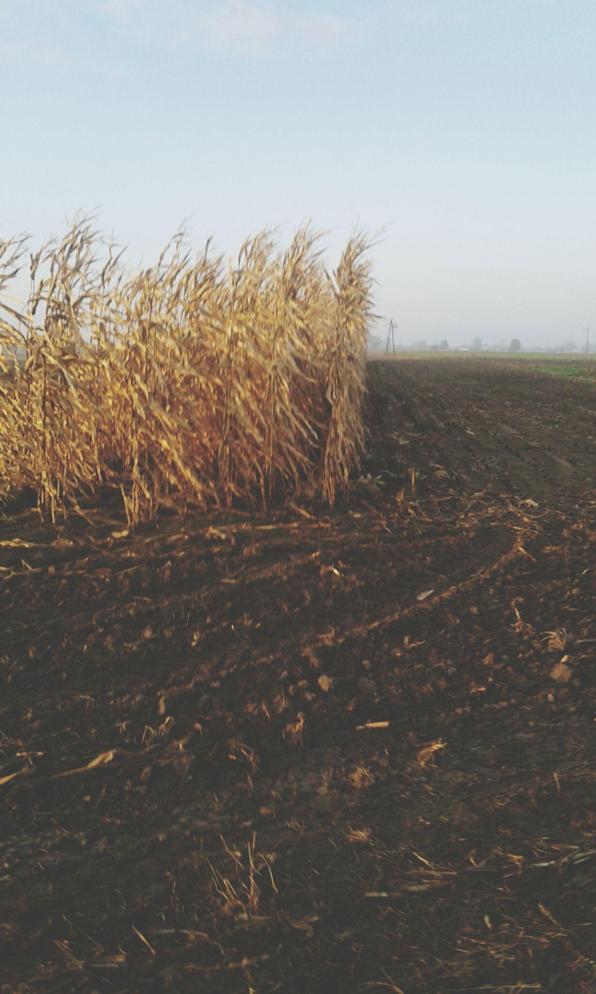 Kukurydza W Listopadzie Jejku Sweet