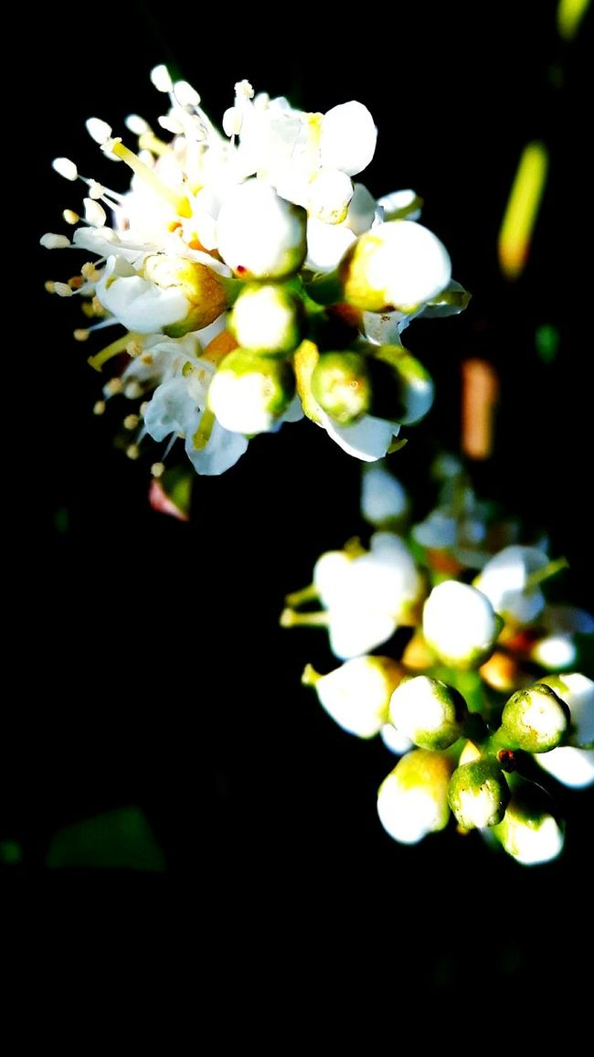 Flower Freshness Fragility Growth Close-up Petal White Color Beauty In Nature In Bloom Blossom Springtime Flower Head Nature Focus On Foreground Botany Selective Focus Day Outdoors Blooming Bloom