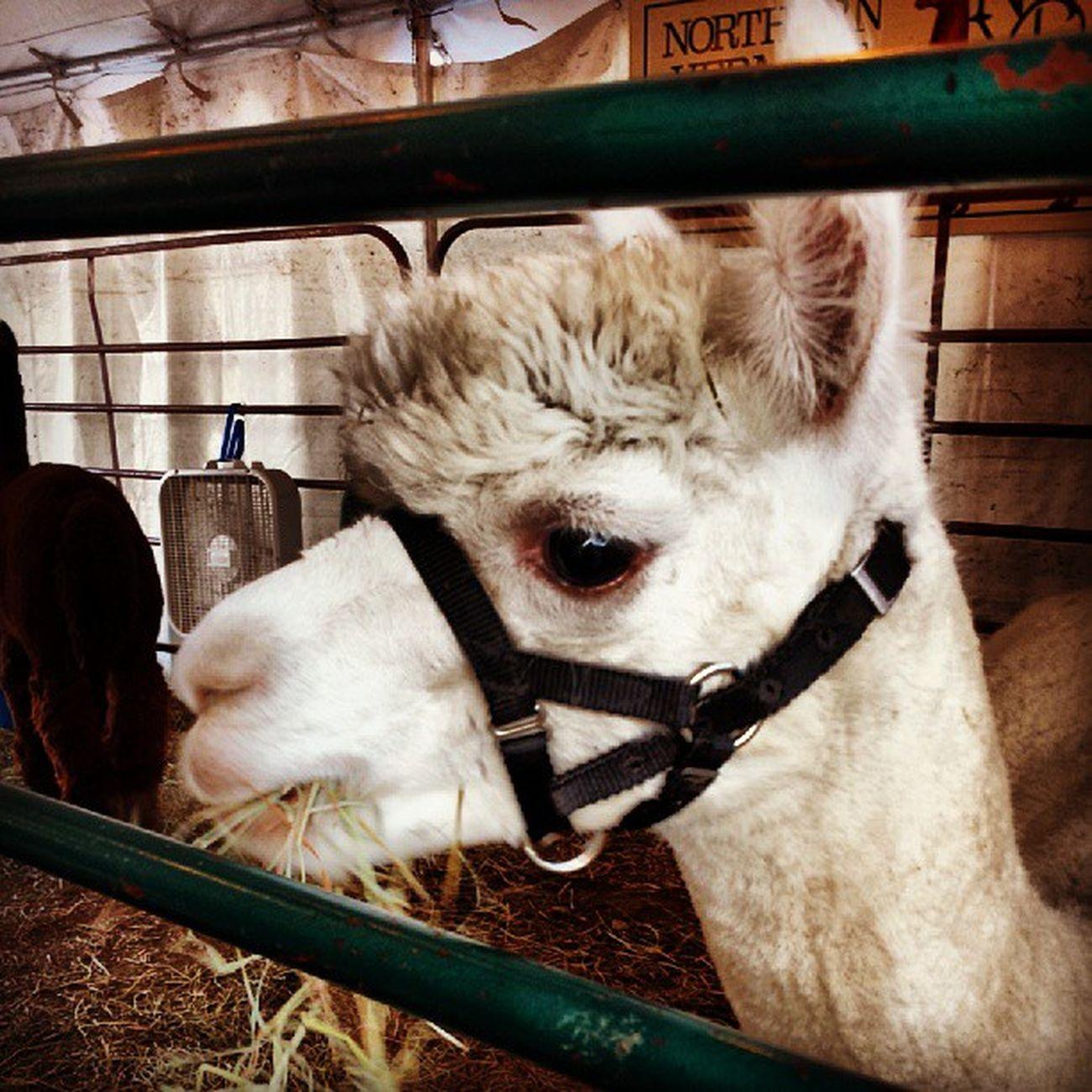 Oh hai Alpaca Jerichoridgealpacas Vt Vtphoto vermont instapets champlainvalley fair