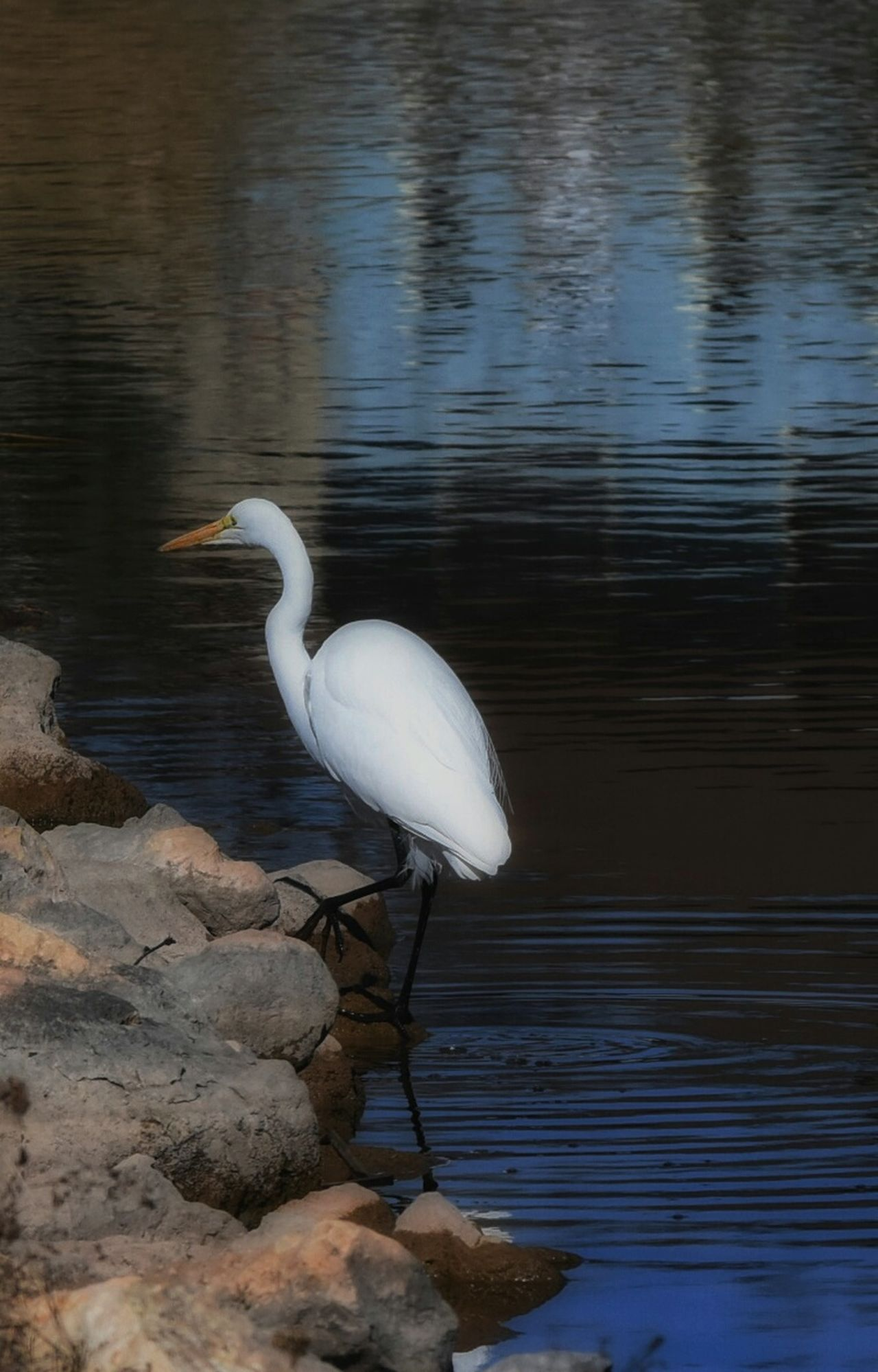 Animals In The Wild Animal Themes One Animal Bird Great Egret Water This Week On Eyeem Eyeemphotography Texas Photographer Nature Close-up Animal Body Part Animals In The Wild San Angelo San Angelo Texas animal wildlife Lake Egret No People Outdoors Nature Day