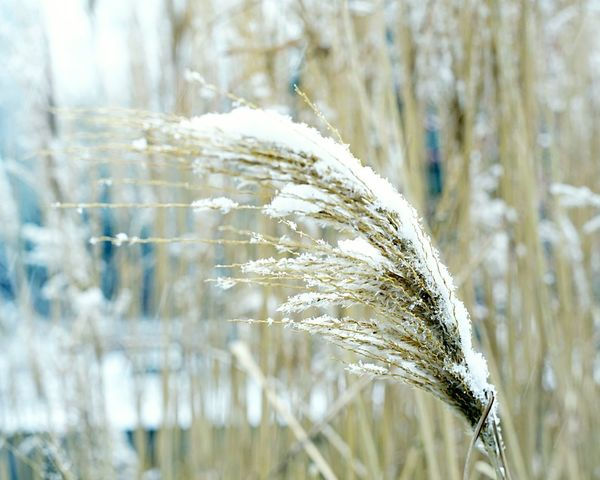 Snow Covered Plants Snow Covered Plants EyeEm Selects Cereal Plant Nature Wheat Crop  Close-up Field Focus On Foreground Growth Agriculture Plant No People Day Beauty In Nature Outdoors Winter Ear Of Wheat Rye - Grain