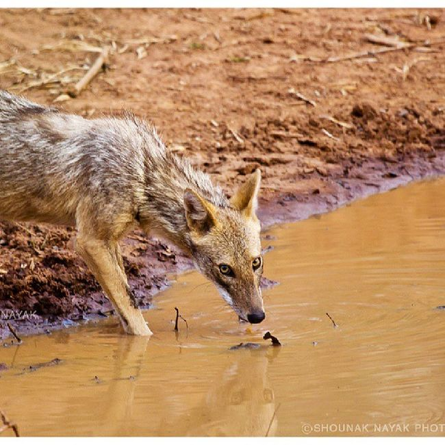 I'm watching you. ShounakNayakPhotography Wildlife Jackal Bandhavgarh animals