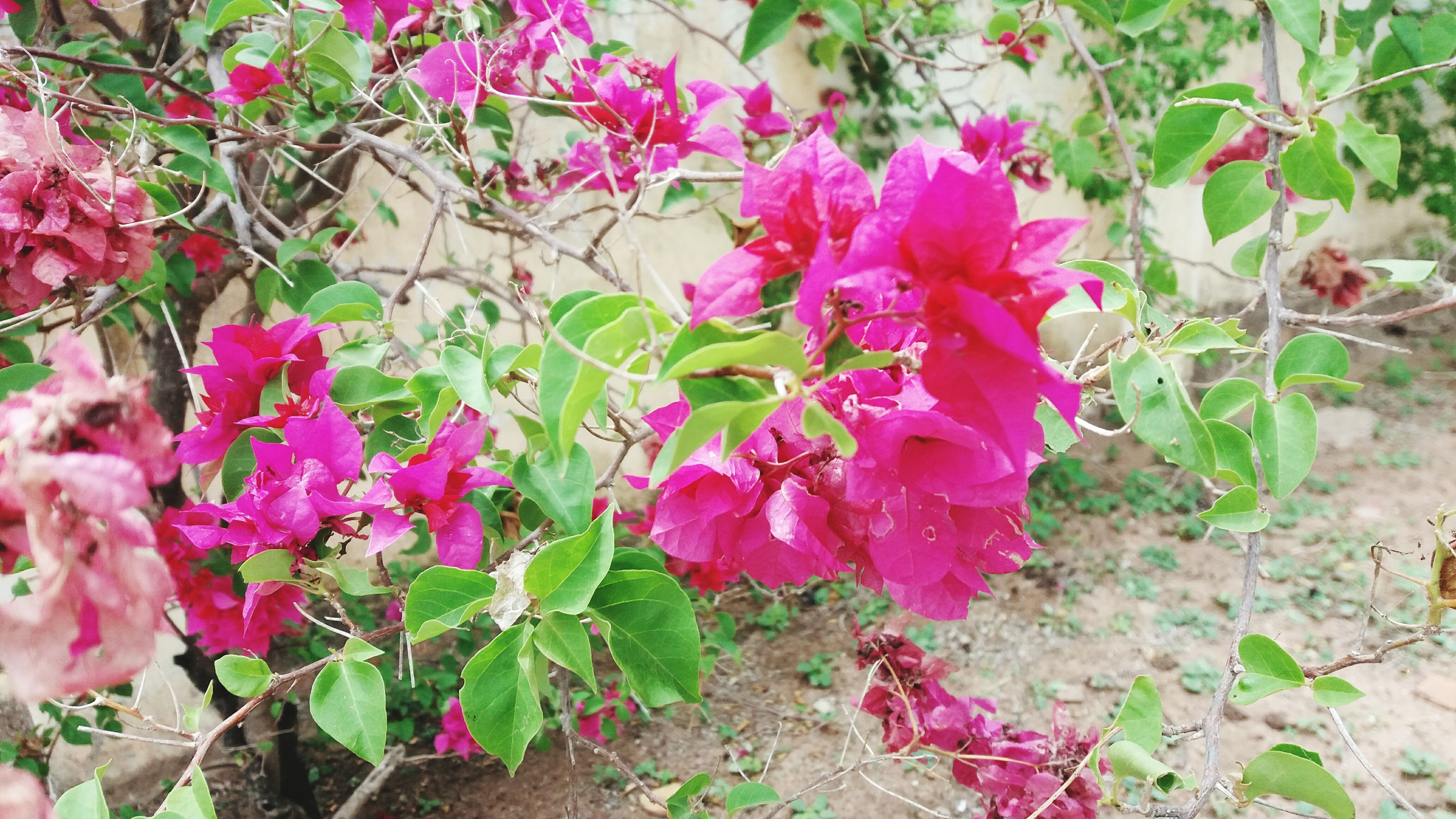 flower, growth, plant, nature, fragility, beauty in nature, pink color, petal, blossom, no people, leaf, freshness, blooming, outdoors, branch, day, flower head, close-up