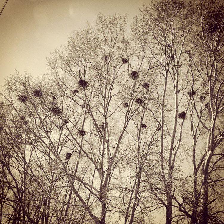 гнездо птицы трудяги деревья небо весна апрель  Nest Socket Trees Sky Spring April Russian