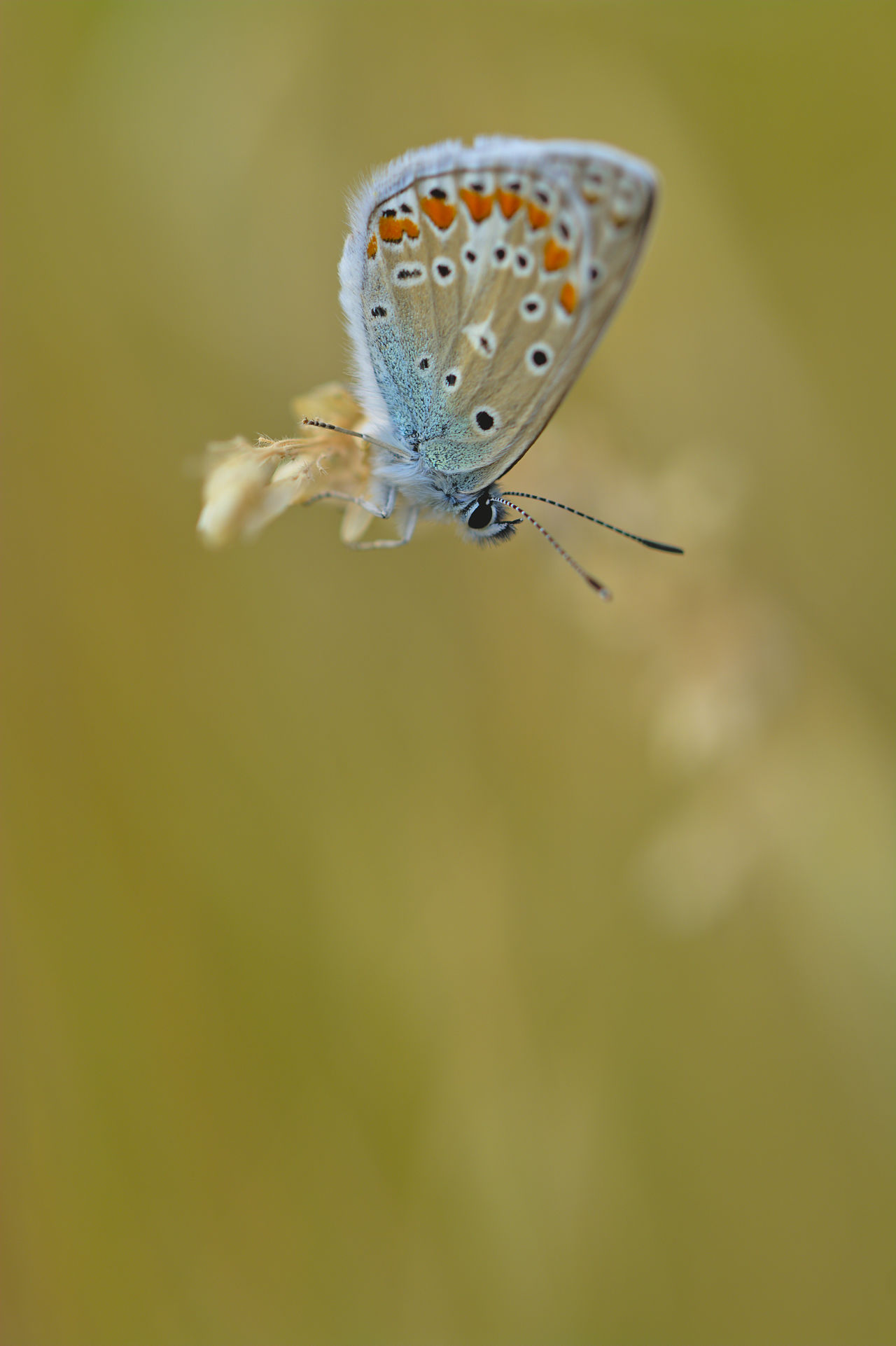 Beauty In Nature Butterfly - Insect Close-up Common Blue Butterfly Fragility Insect Macro Macro Beauty Macro Photography Macro_collection Macroclique Nature