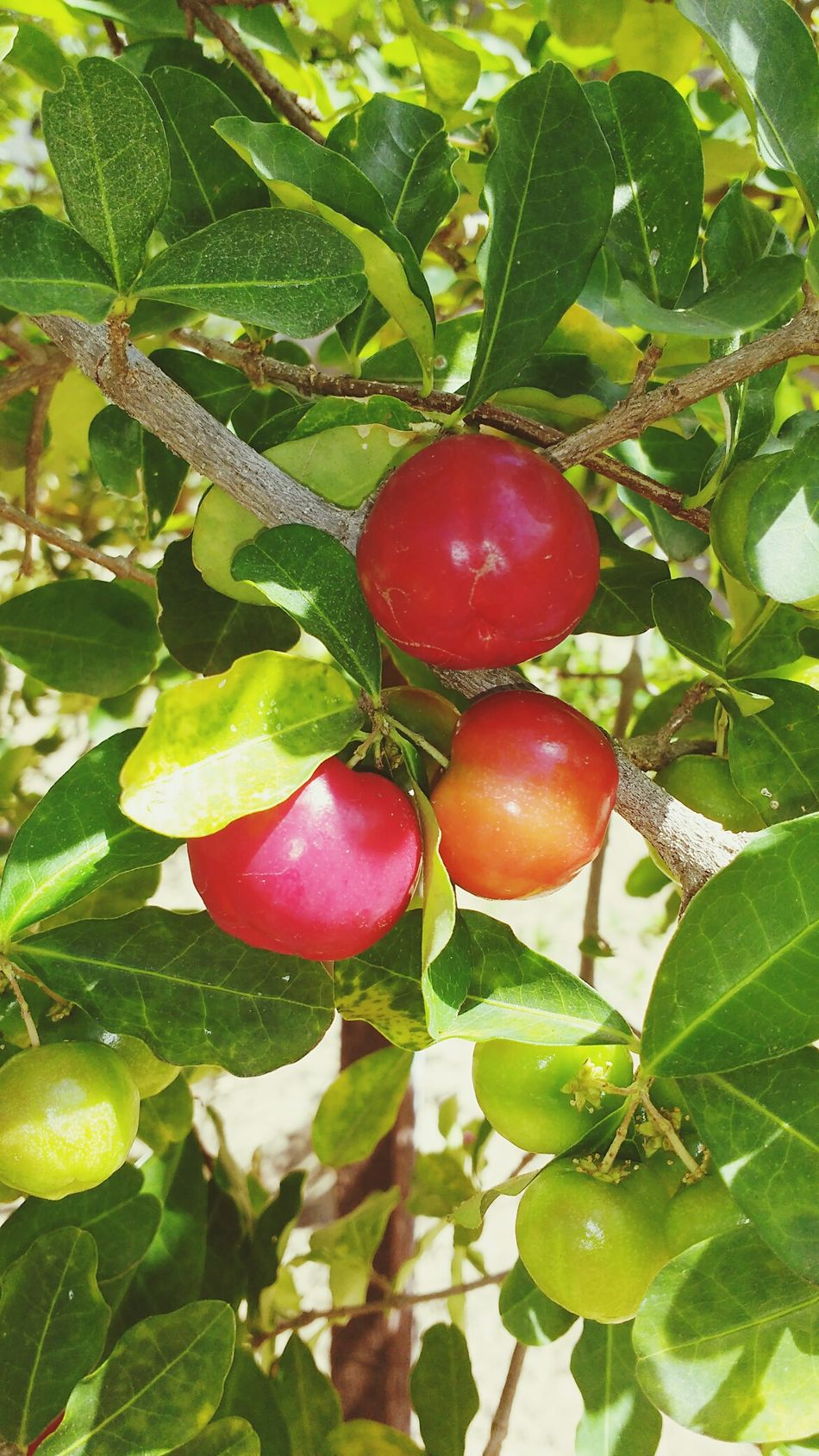 Fruit Food And Drink Food Freshness Green Color Healthy Eating No People Outdoors Agriculture Red Growth Close-up Tree Nature Leaf Plant Day Beauty In Nature