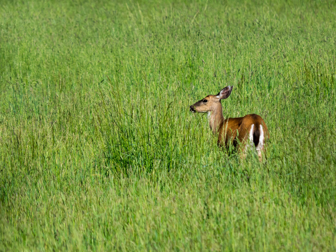 grass, field, nature, animal themes, animals in the wild, day, no people, mammal, green color, growth, one animal, young animal, outdoors