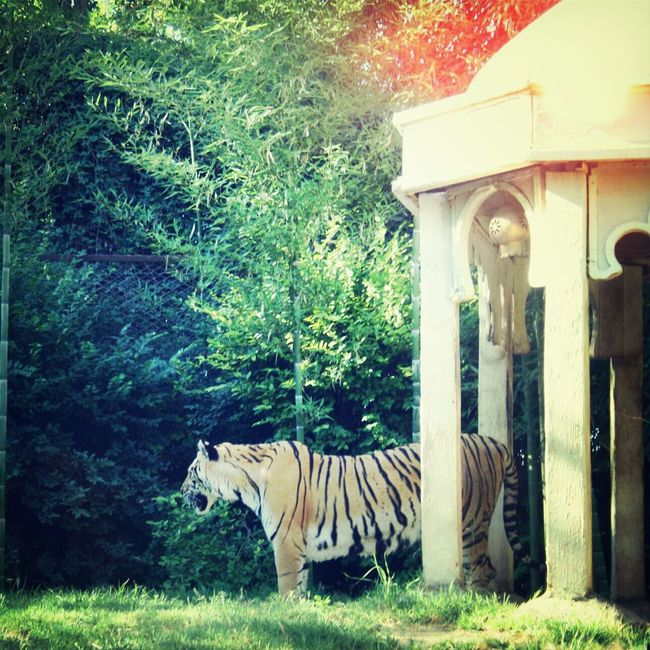 Buin Zoo Photography Lion *-*