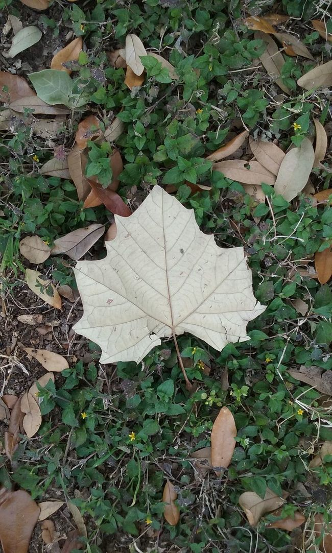 Brown Leaf  Variety Of Leaves Green Grass 🌱 Nature Enjoying The Sights Android Photography Outdoor Photography Leaf 🍂 Leaf Veins Leaf Looking Down! Leaves On The Ground Leaves 🍁 Leaves Closeup Backgrounds Pattern, Texture, Shape And Form