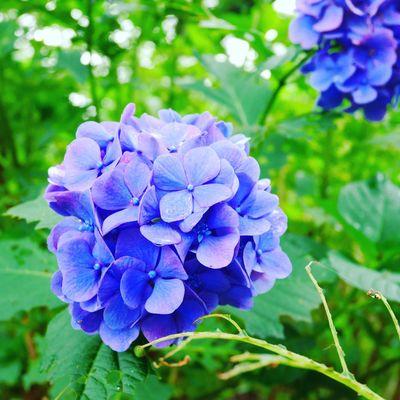 Purple Flower Hydrangea Rainy Day