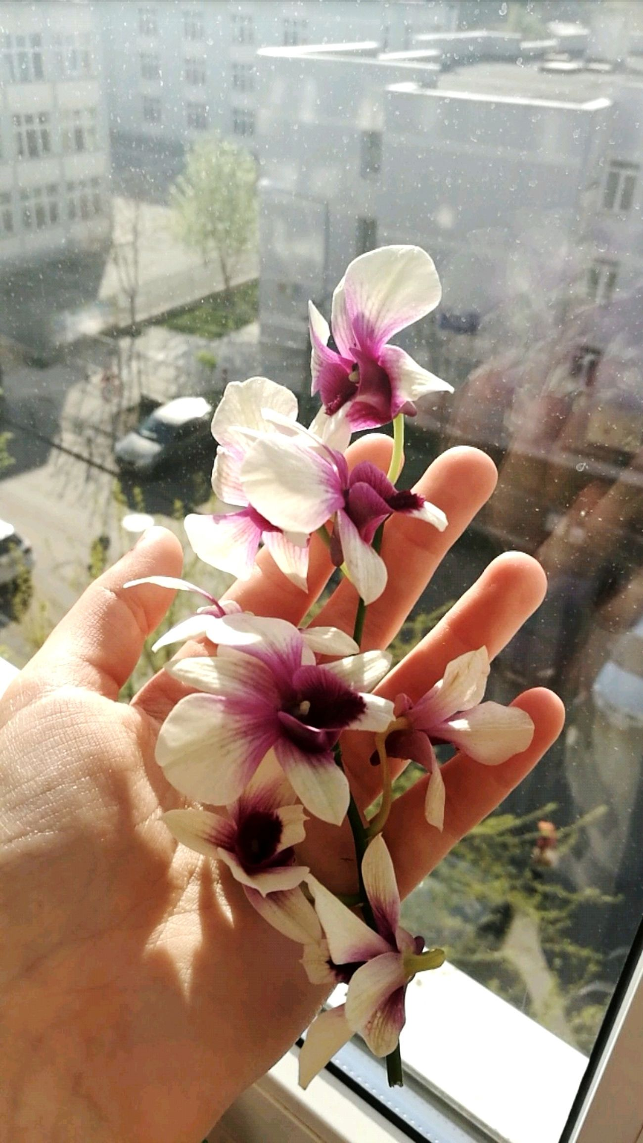 Flower Flower Power🌼 Pink Flower 🌸 Pink&white Petal Nature Daylight Nature Lover🌳🍃🍂🌿 Plant Plant Lover Window Indoors  Close-up Human Body Part Human Hand Freshness Fragility Enjoy The Little Things
