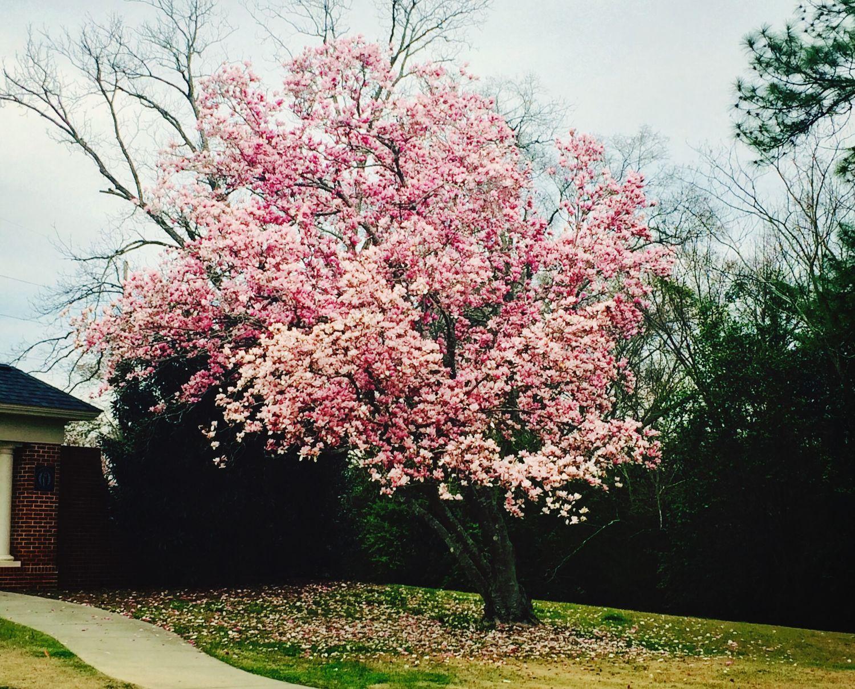 Blooming Hugging A Tree Sakura Campus ?