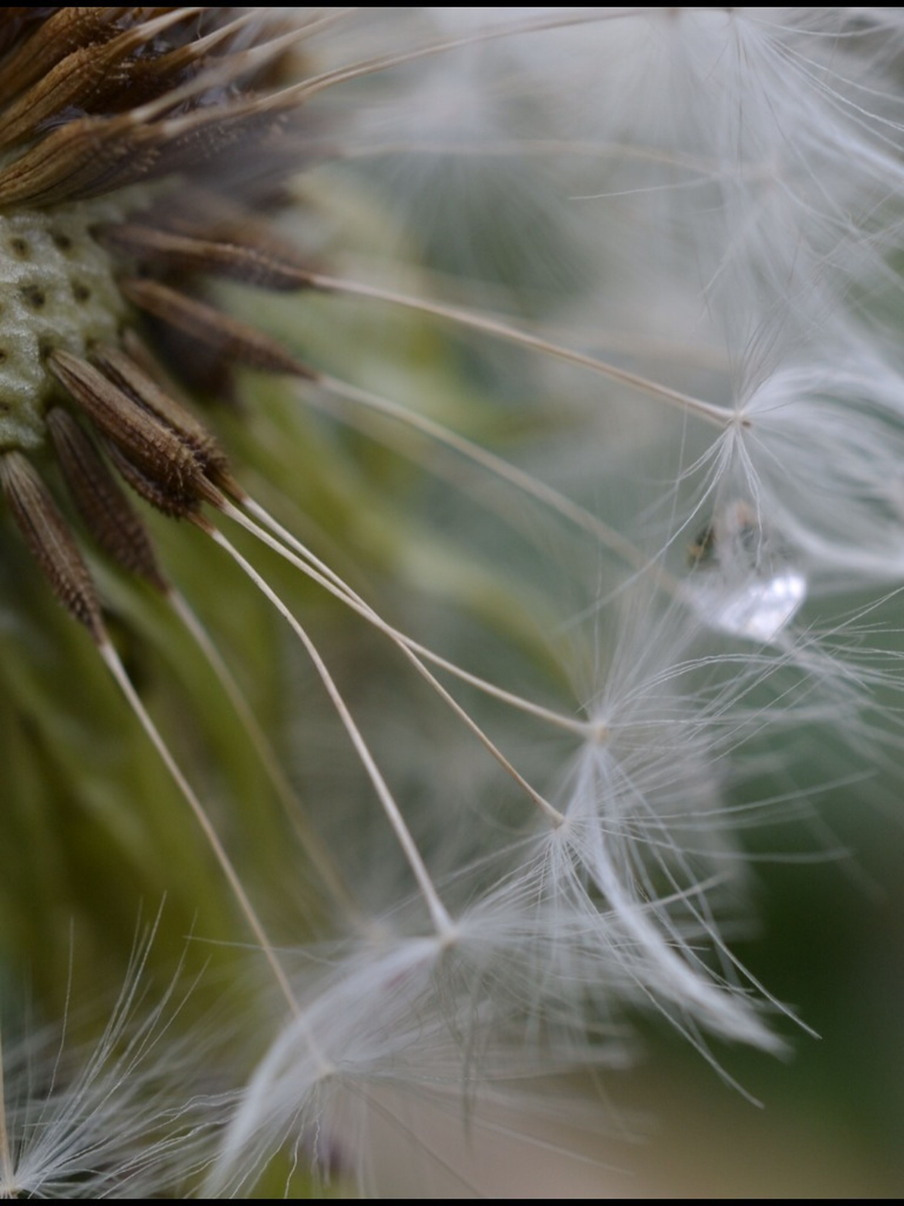 dandelion, flower, fragility, growth, close-up, freshness, nature, beauty in nature, flower head, focus on foreground, softness, plant, day, outdoors, no people, dandelion seed, single flower, selective focus, stem, uncultivated