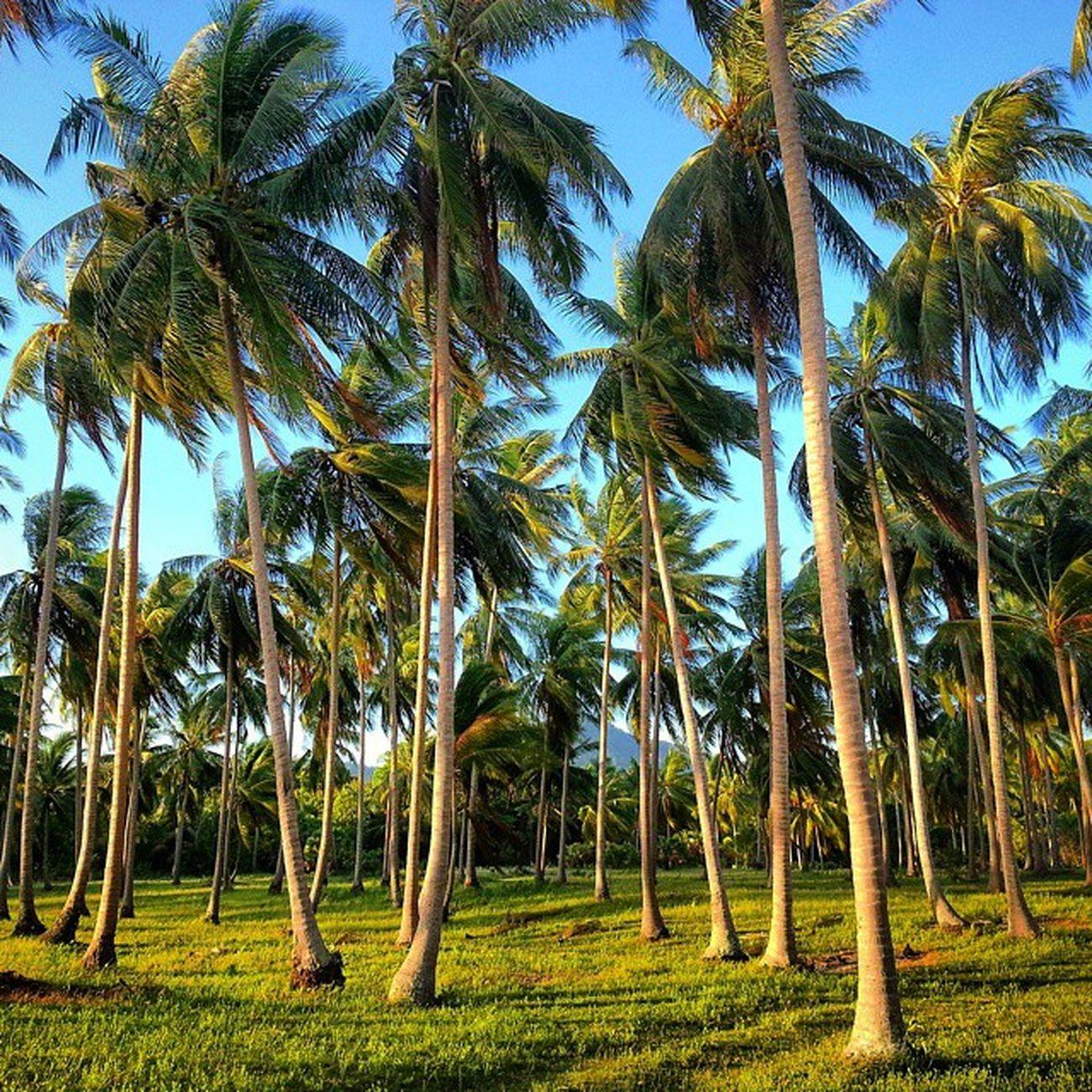 Island Vacation Nature Lalaland picoftheday instagram nofilter palmtree