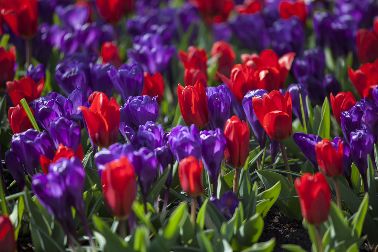 Tulips Attraction Beautiful Bloom Blooming Blossom Colourful Europe Flora Flower Flowers Netherlands Orange Park Pink Plant Purple Red Spring Sunlight Tulip Tulips