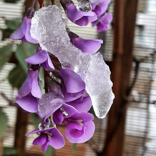 Fine Art Photography Iceflower Snow Day On My Balcony Purple Flower Drops Close Up