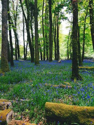 Tree Nature Beauty In Nature Tranquility Lush Foliage Tree Trunk Forest Flowers, Nature And Beauty EyeEmNewHere Killarney National Park Bluebells In The Woods