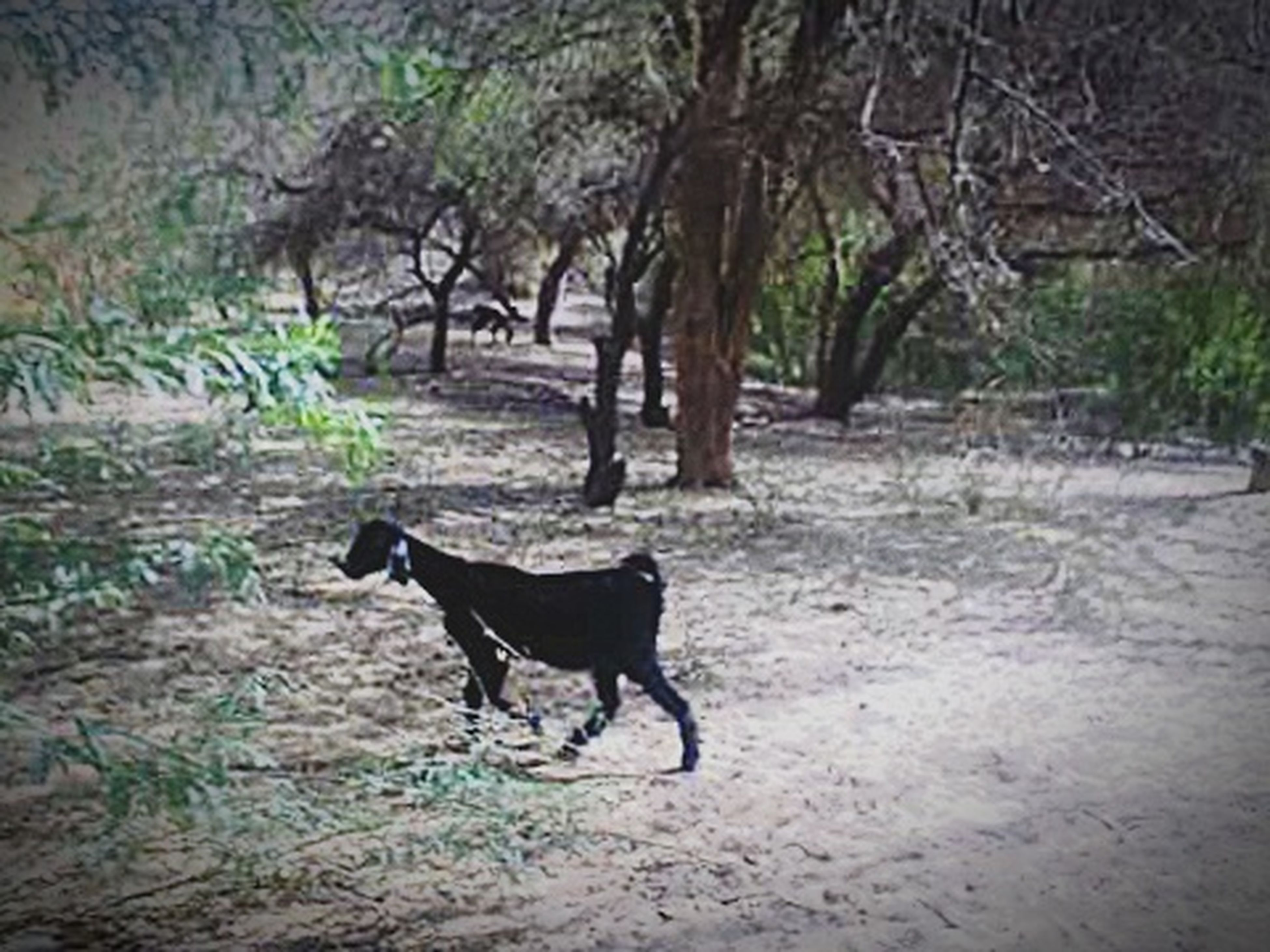 domestic animals, pets, mammal, animal themes, one animal, dog, standing, field, full length, walking, black color, looking at camera, pet collar, portrait, nature, outdoors, day, tree, grass, no people