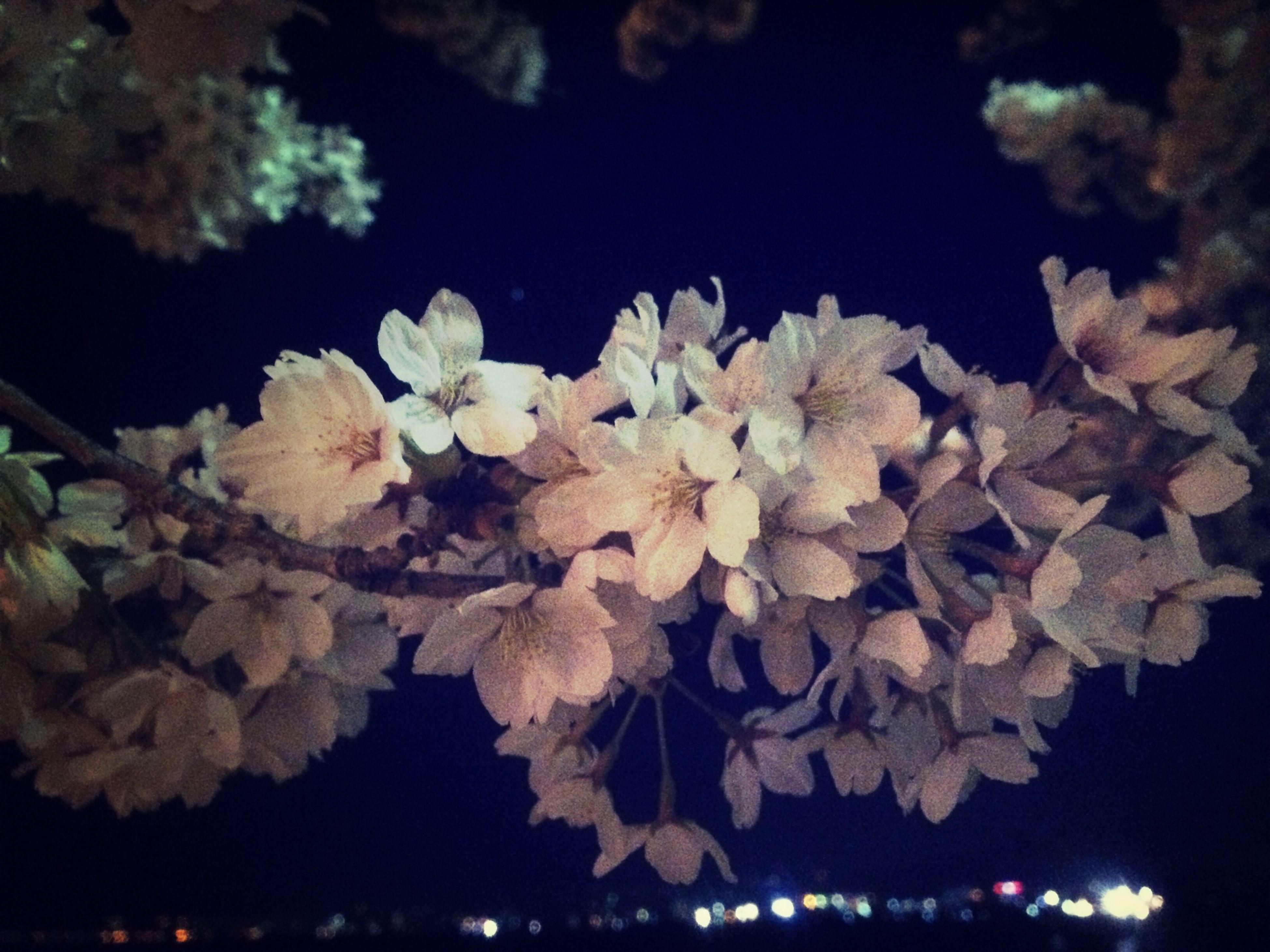 Cherry Blossoms Flower Night
