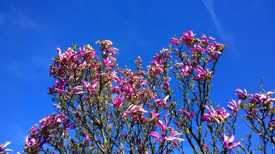 Beautiful stock photos of magnolia, Beauty In Nature, Blue, Branch, Day
