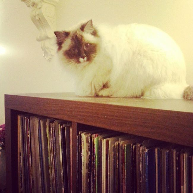 I've been waiting for you to get home, Mum. So I sat on your Records . Vinyl Cats Theadventuresofpuck pets animals