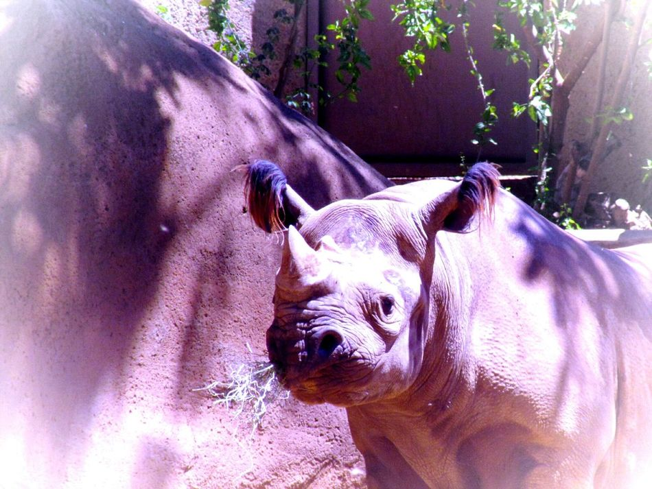 One Animal Animal Themes Outdoors Nature Zoo Animals In The Wild No People Close-up Black Rhino Zoo Animals  Endangered Species Endangered Animals Animal Wildlife Playing With Effects Sunlight
