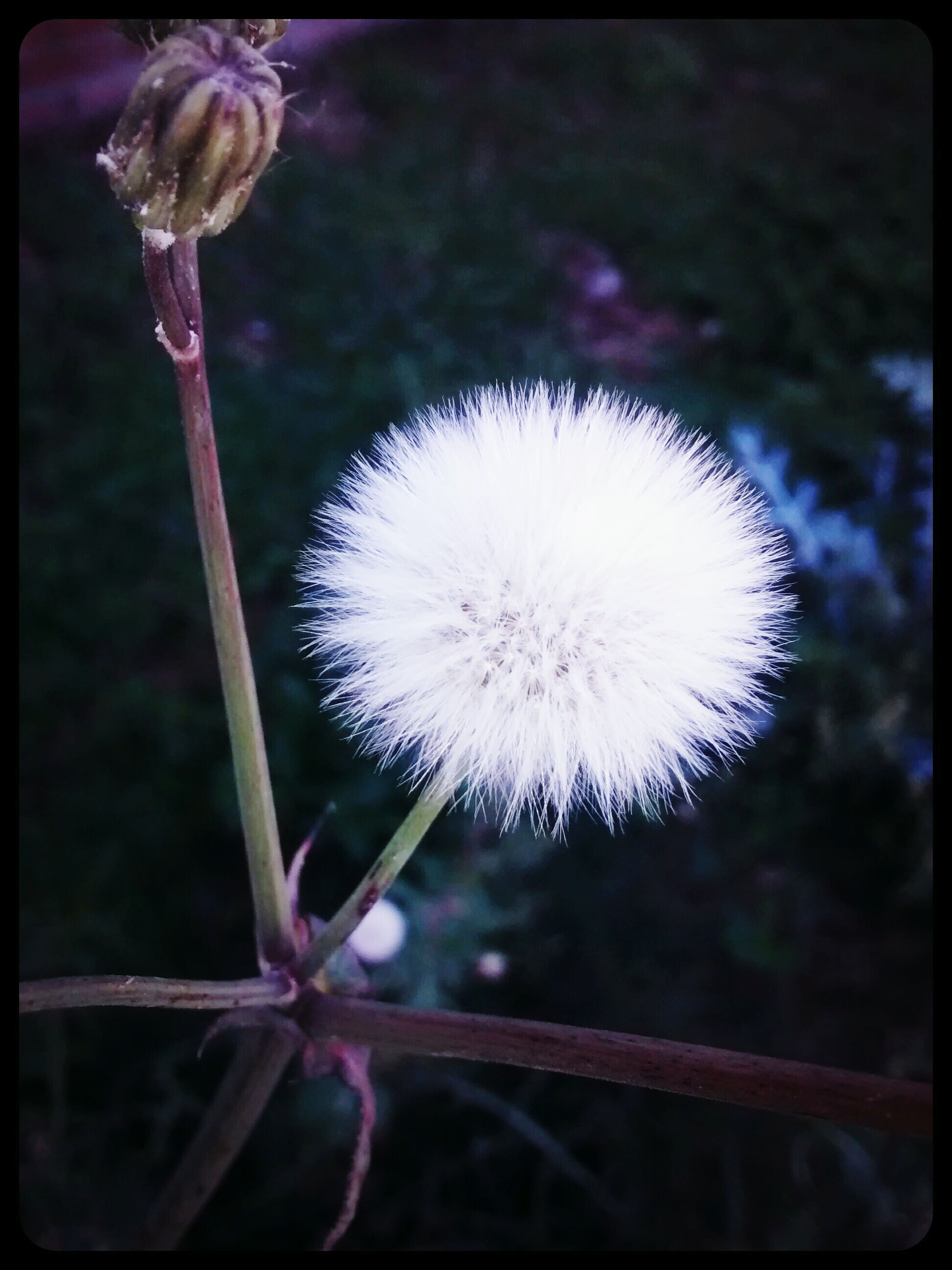 Flowers,Plants & Garden Flower#garden#nature#ecuador#santodomingoecuador#eyeEmfollowers#iphoneonly#nofiltrer#macro_garden#pretty#beautifulfollowmesho [a:1517186] White Flower *Diente de lEon*