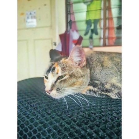 Kucing kesejukan Gambang Hujan