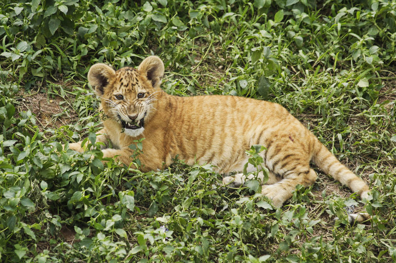 Liger Animal Themes Animal Wildlife Animals In The Wild Carnivora Day Feline Grass Lion Tiger Lion Tiger Hybrid Looking At Camera Mammal Nature No People One Animal Outdoors Plant Portrait