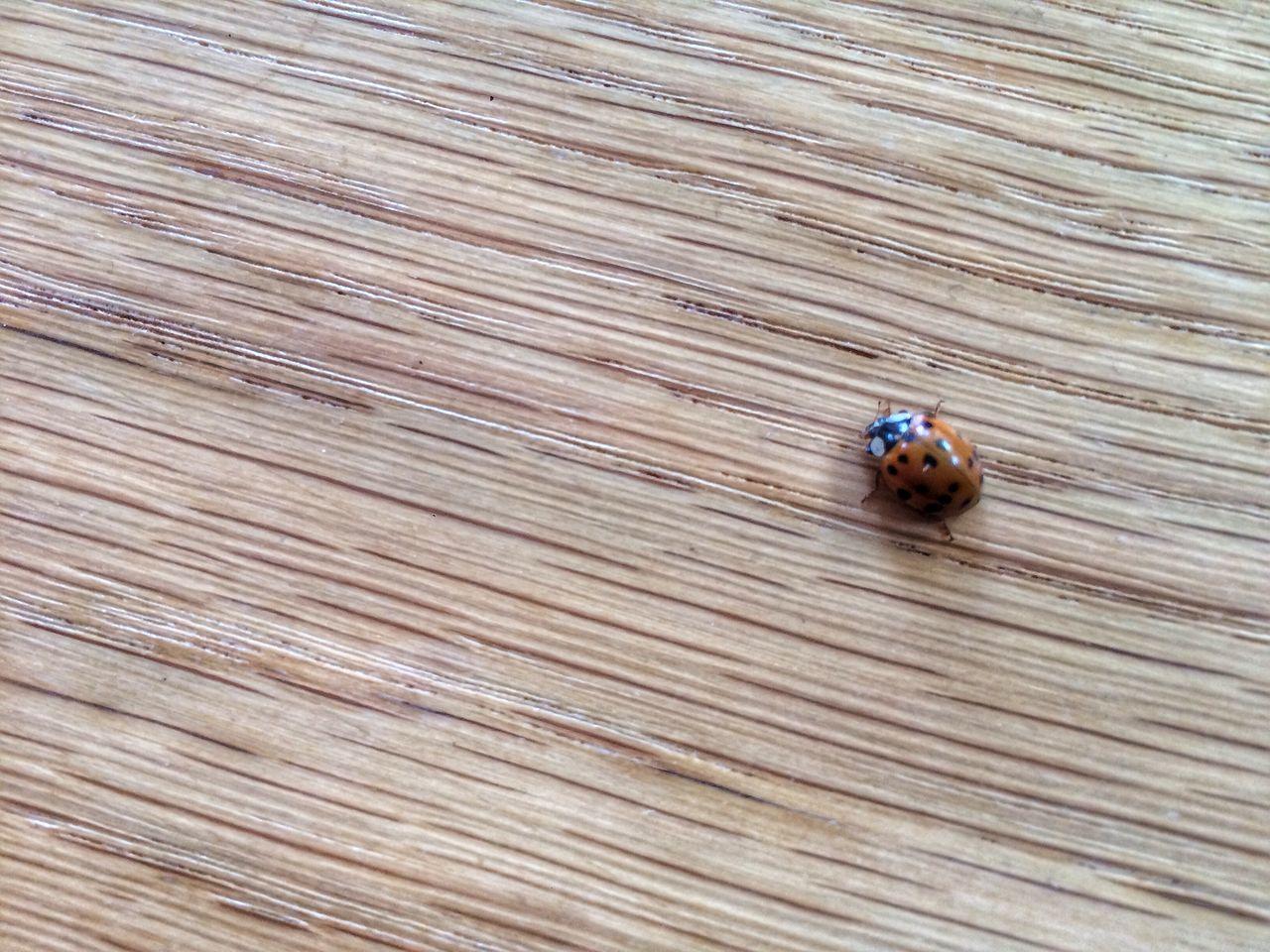 Ladybug Animal Themes Animal Wildlife Ladybug Nature Outdoors Red Red And Black Wood