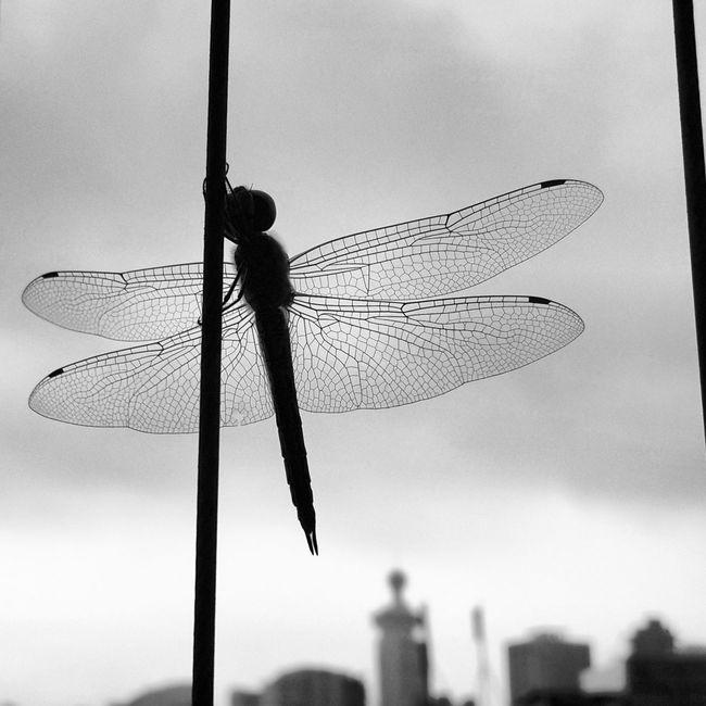 天黑黑,有蜻蜓自遠方來。 - Shenzhen