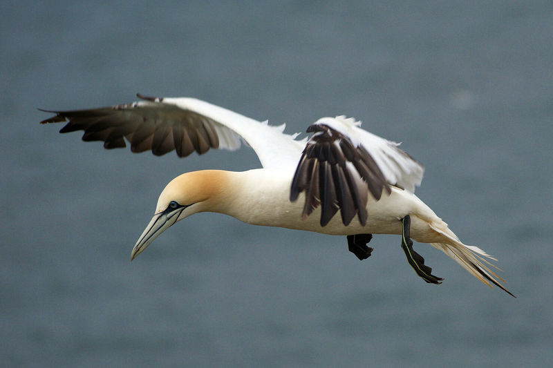 Northern Gannet Animal Wildlife Animals In The Wild Bird Flying Gannet Nature No People One Animal Outdoors Sky Spread Wings